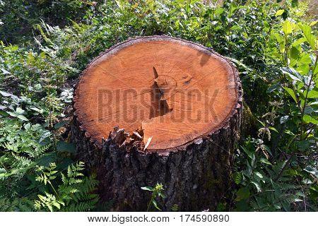 fresh oak tree stump in green spring forest