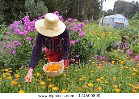 senior woman gardener herbalist with straw hat gathering fresh marigold calendula medical flowers