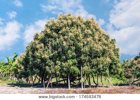 Longan Tree In Summer Of Rural Organic Farm