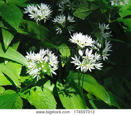 White Flowers of Ramsons or Wild Garlic Plant Allium ursinum