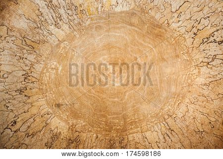 Wooden texture. Close-up large birch saw cut. It is clearly visible pattern formed wooden fungus.