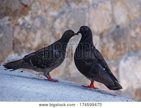 Two black pigeons on a roof touching their beaks make a love scene
