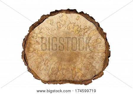 Isolated object. Close-up birch saw cut large with bark on white background. background. It is clearly visible pattern formed wooden fungus.