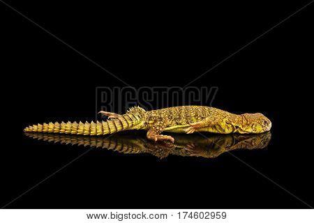 Yellow Uromastyx Lizard on Isolated black reflective background