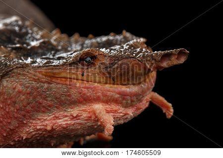 Mata mata Turtle, Chelus fimbriata on isolated Black Background