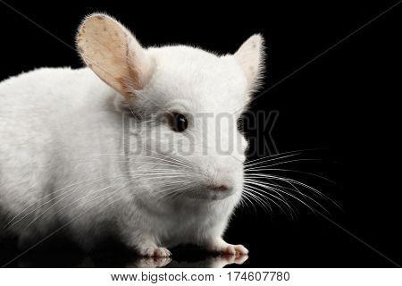 Close-up White Chinchilla on Isolated Black background