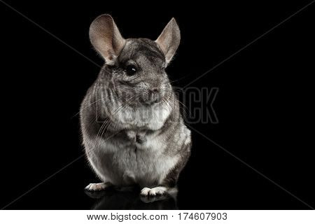 Close-up Gray Chinchilla Standing on Isolated Black background
