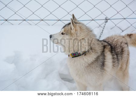 Siberian Husky Dog Black And White Colour With Blue Eyes In Winter
