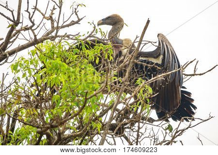 Entire vulture standing tall on top of a tree, extended wings