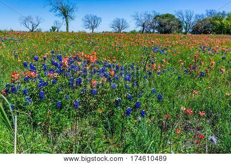 Orange Indian Paintbrush Wildflowers In Texas