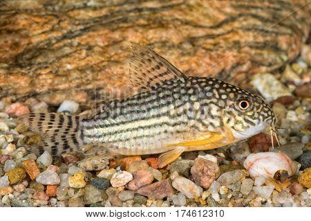 Portrait Of Catfish (corydoras Sterbai) In Aquarium