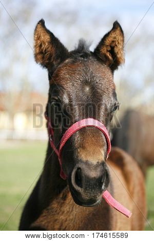 Front view closeup of a few weeks old foal