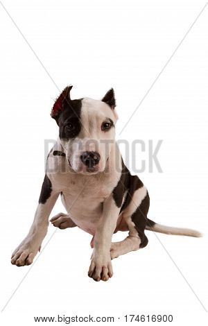 american staffordshire terrier dog Staffordshire bull terrier sitting in front of white background