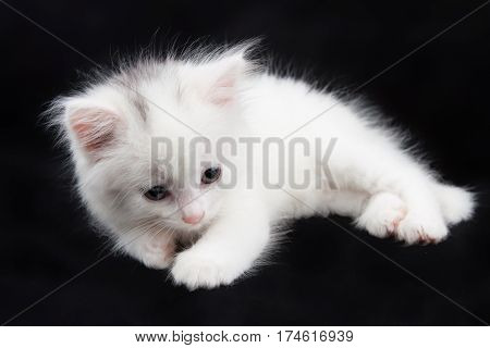beautiful little white kitten sitting on a black background