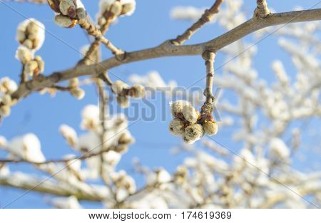 Spring flowering branches of willow. Floral background with willow in bloom. Willow twigs with catkins on blue.