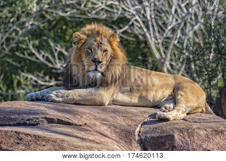 Male Lion Relaxing On A Rock In The Sun