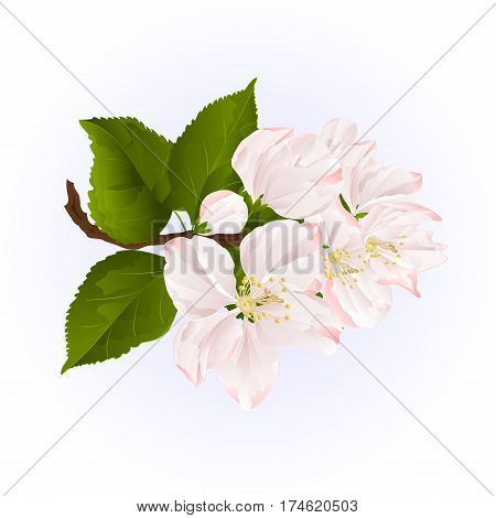 Apple blossom twig with leaves blue background vintage vector illustration