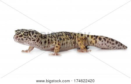 The leopard gecko (Eublepharis) is a crepuscular ground-dwelling lizard isolated on a white background