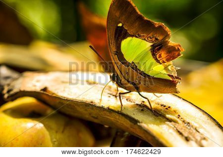 green and brown swallowtails butterfly with broken wings