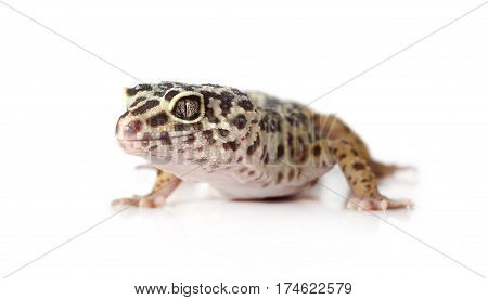 Cute leopard gecko (Eublepharis macularius) isolated on white background