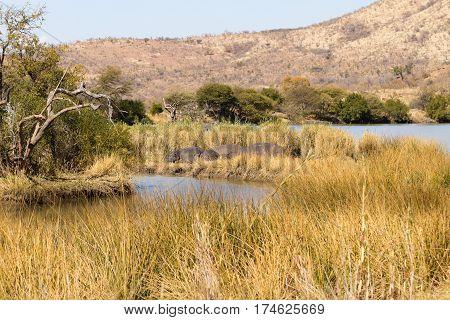 Herd Of Hippos Sleeping, Pilanesberg National Park, South Africa