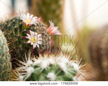 Cactus flowers pink Mammillaria Peacock bloom in the moning