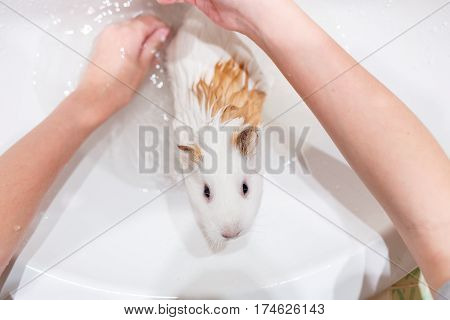 girl washing white guinea pig in a sink. Pet washing concept background