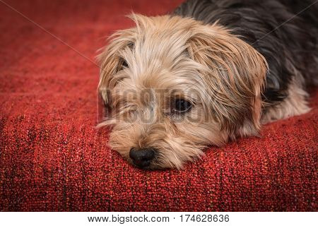 Cute yorkshire terrier puppy dog looking a little sad and sleepy on red background.