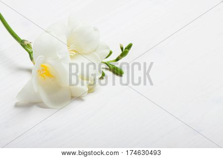 White freesia on the white background. Concept of spring Women's Day Mothers day 8 March the holiday greetings tenderness femininity. Place for your text