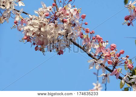 photo of Cassia bakeriana, Pink Shower, Pink cassia, Flower blossom background, Pink tree