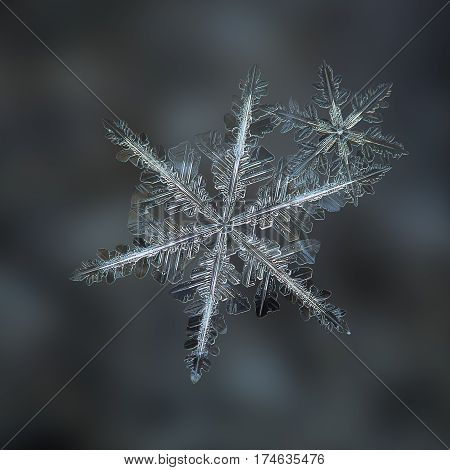 Macro photo of real snowflakes: flat cluster with two snow crystals of stellar dendrite type, with elegant structure and thin, long arms, glittering on dark gray background.