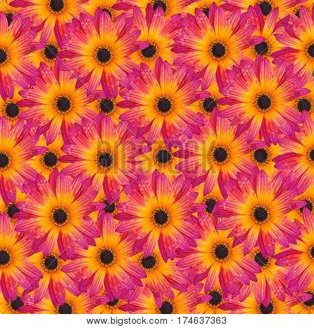 Pattern with Gazania Rigens Rare Sun Flower Bonsai Plant native to Africa. Vibrant magenta and yellow orange flower