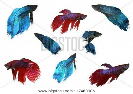 Multiple Isolated Beta Fish on White Background