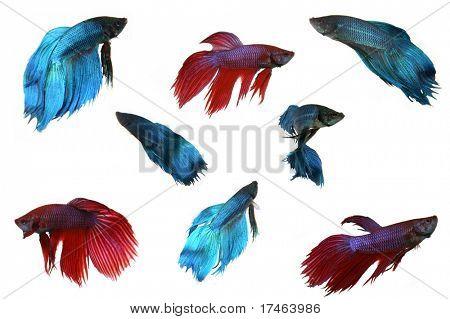 Varios peces Beta aislado sobre fondo blanco