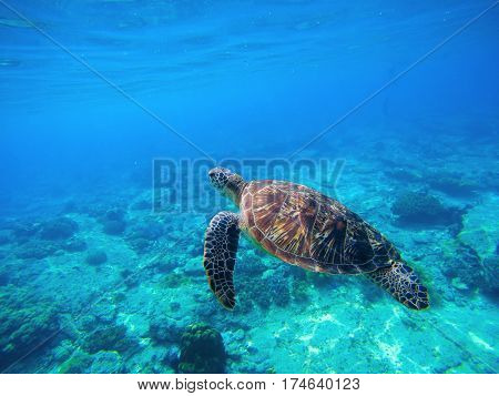 Green turtle swimming in Caribbean seawater. Sea turtle in wild nature. Sea tortoise diving in blue seawater. Oceanic animal photo for card or banner. Snorkeling with tortoise. Tropical seashore