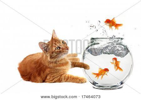 Humorous Calico Cat Watching Goldfish Maliciously