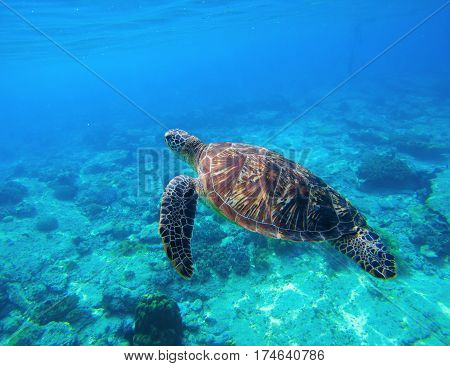Green turtle swimming in tropical seawater. Sea turtle in wild nature. Sea tortoise diving in blue lagoon. Oceanic animal photo for card or banner. Snorkeling with tortoise. Tropic seashore adventure