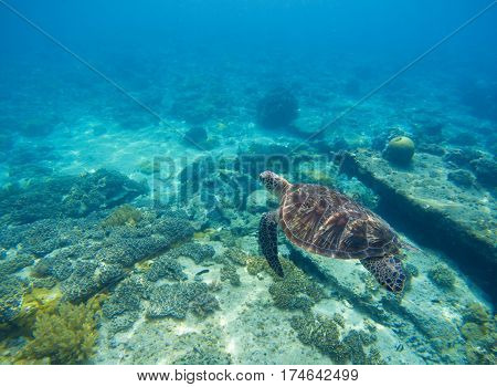 Sea turtle in water. Underwater sea turtle close photo. Green tortoise in blue lagoon. Green turtle swimming in ocean. Snorkeling with animal. Tropical water life. Snorkeling with green turtle