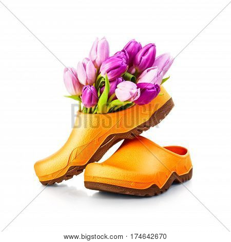 Spring tulip flowers and garden clog shoes isolated on white background clipping path included