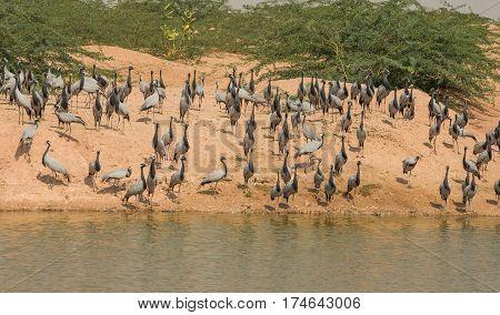 Graceful Demoiselle crane birds near lake in India