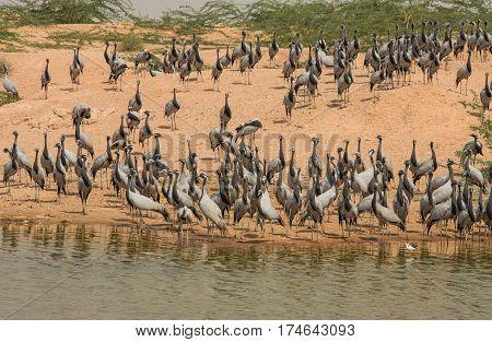 Graceful demoiselle cranes near lake in India