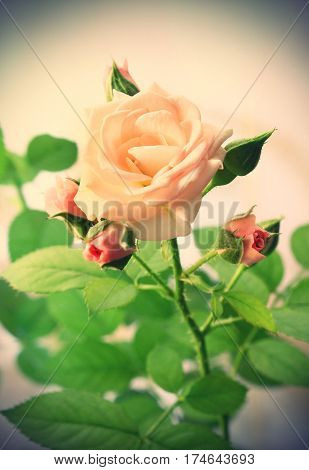 Closeup of beautiful pink rose vintage effect