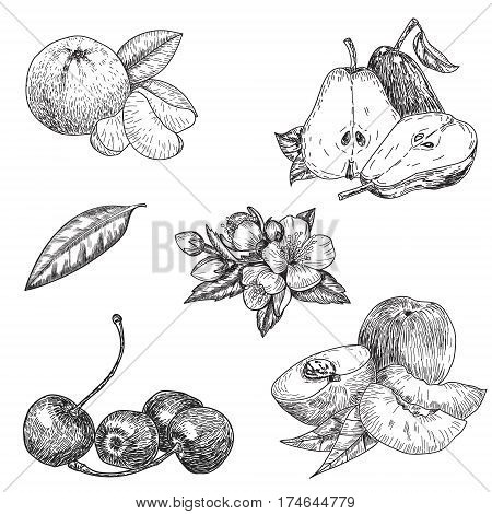vector set hand made sketch illustration of engraving pear, peach, mandarin, cherry leaves and flowers on white background