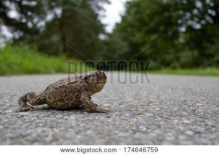 wild frog toad on dangerous street crossing