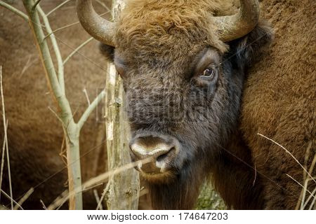 a wisent The European bison stands in the natural park of the Maashorst Netherlands
