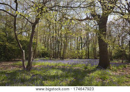 Bluebells in the woods in Suffolk England