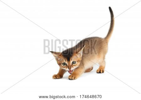 Hissing Abyssinian Kitty like a wild cat on Isolated White Background