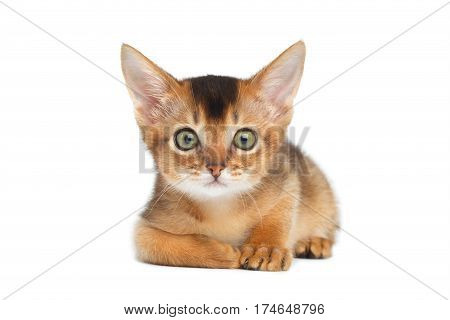 Cute Abyssinian Kitty Lying on Isolated White Background, front view
