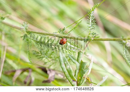 small ladybird on blade of grass and green meadow background