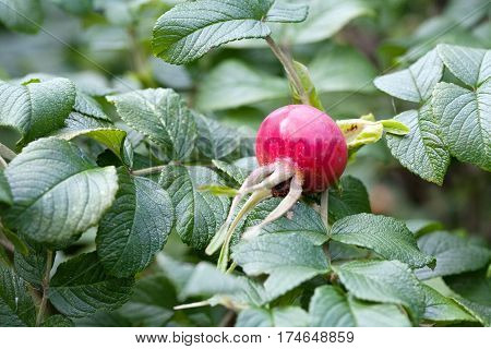 big red rosehip closep on green leaves background